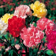 Carnation - Superb Formula Mix - 250 seeds